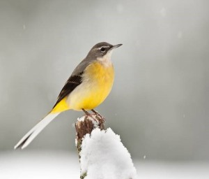 Grey Wagtail (Dave Bartlett, Birds of Berkshire Atlas)