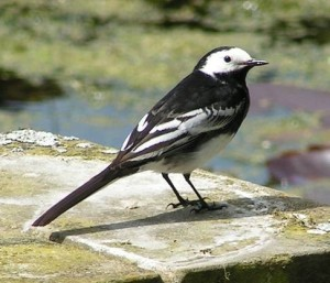 Pied Wagtail Male Lisa Carter